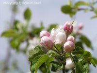 Apple Buds