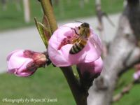 bee on peach blossom